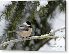 Black-capped Chickadee Acrylic Print by Beve Brown-Clark Photography
