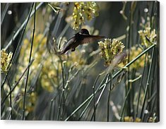 Black Chinned Hummingbird In Garden Acrylic Print by Colleen Cornelius