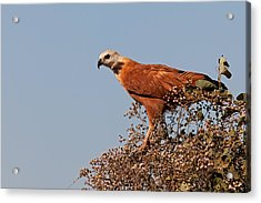 Black-collared Hawk, Pantanal Acrylic Print
