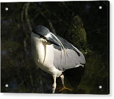 Black Crowned Heron Acrylic Print by Gregory Letts