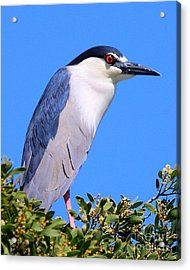 Black Crowned Night Heron Atop Tree Acrylic Print by Wingsdomain Art and Photography