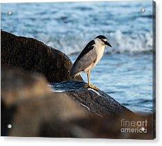 Black Crowned Night Heron B3975 Acrylic Print by Stephen Parker