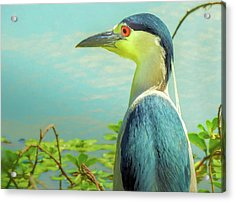 Black-crowned Night Heron Digital Art Acrylic Print