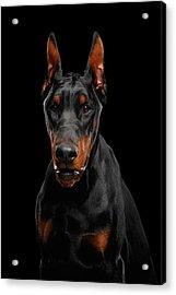 Black Doberman Acrylic Print