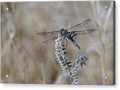 Black Dragonfly Acrylic Print