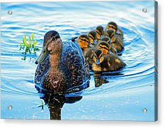 Black Duck Brood Acrylic Print