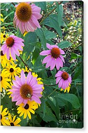 Black Eye Susans And Echinacea Acrylic Print by Eric  Schiabor