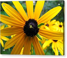 Black-eyed Susan And A Traveler Acrylic Print by Lori Miller