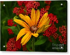 Black-eyed Susan And Yarrow Acrylic Print by Steve Augustin