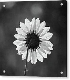 Black-eyed Susan - Black And White Acrylic Print