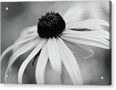 Black Eyed Susan Acrylic Print by Michelle Joseph-Long