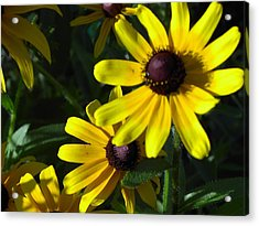 Black Eyed Susan Acrylic Print by Mary-Lee Sanders