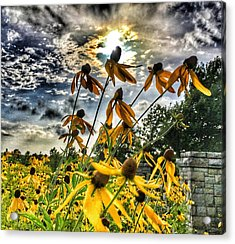 Acrylic Print featuring the photograph Black Eyed Susan by Sumoflam Photography