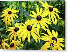 Black Eyed Susans- Fine Art Photograph By Linda Woods Acrylic Print by Linda Woods