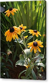Black-eyed Susans Acrylic Print by Greg Joens