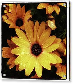 Acrylic Print featuring the photograph Black Eyed Susans. Looks Like They're by Mr Photojimsf