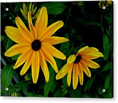 Black-eyed Susans Acrylic Print by Robert Knight