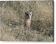 Black-footed Ferret Checks Out Its Surroundings Acrylic Print