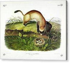 Black-footed Ferret Acrylic Print