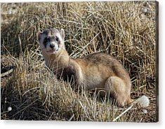 Black-footed Ferret Poses Acrylic Print