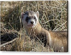Black-footed Ferret Up Close Acrylic Print