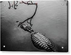 Black Gator Acrylic Print
