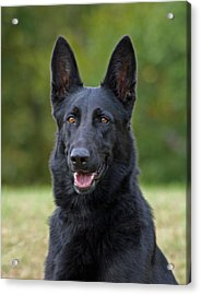 Black German Shepherd Dog Acrylic Print