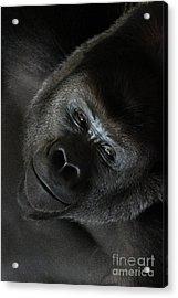 Black Gorilla Smile Acrylic Print