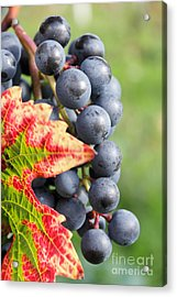 Black Grapes On The Vine Acrylic Print