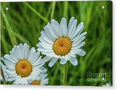 Black-headed Daisy's Acrylic Print