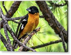 Black-headed Grosbeak Acrylic Print