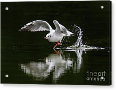Black-headed Gull Chroicocephalus Ridibundus In Winter Plumage Acrylic Print