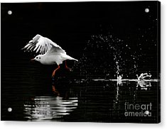 Black-headed Gull - Low Key Acrylic Print