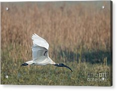 Black-headed Ibis 01 Acrylic Print