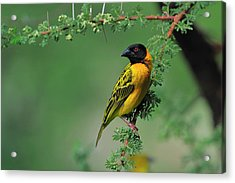 Black-headed Weaver Acrylic Print by Tony Beck