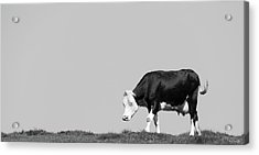 Black Hereford Acrylic Print