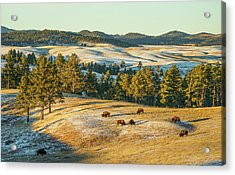 Black Hills Bison Before Sunset Acrylic Print by Bill Gabbert