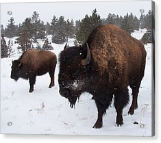 Black Hills Bison Acrylic Print