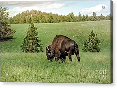 Black Hills Bull Bison Acrylic Print by Robert Frederick