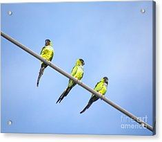Black Hooded Parakeet Trio Acrylic Print by Terri Mills