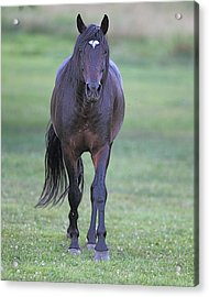 Black Horse Acrylic Print by Glenn Vidal