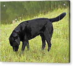 Black Lab In Grass Acrylic Print by Susan Leggett