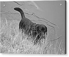 Black Lab In Water Acrylic Print by Susan Leggett