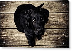 Black Lab Pup Acrylic Print by Andre Spieker