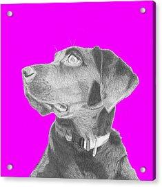 Black Labrador Retriever In Pink Headshot Acrylic Print