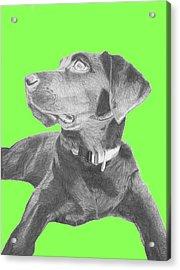Black Labrador Retriever With Green Background Acrylic Print by David Smith