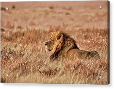 Black-maned Lion Of The Kalahari Waiting Acrylic Print