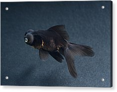 Black Moor Ornamental Fish Acrylic Print by David Aubrey