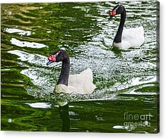 Black Neck Swan Swim Acrylic Print