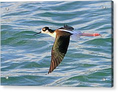 Black-necked Stilt 6 Acrylic Print